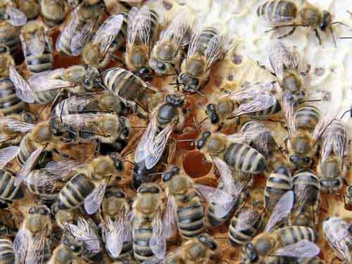 enxame_abelhas