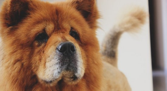 cachorro_cao_chow-chow