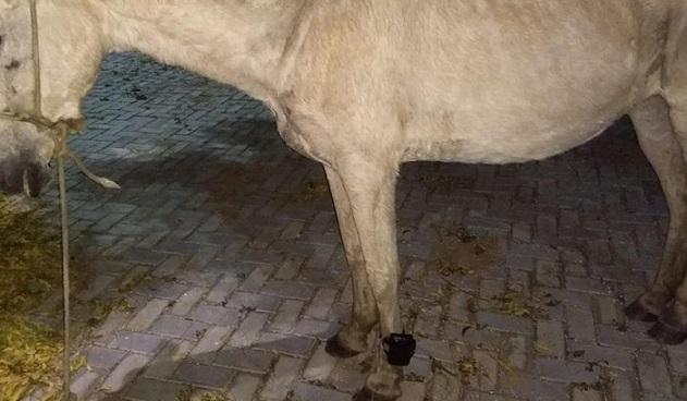cavalo_com_tornozeleira